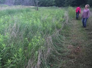 Pulling Spotted Knapweed at Five Lakes Muskegon Nature Sanctuary