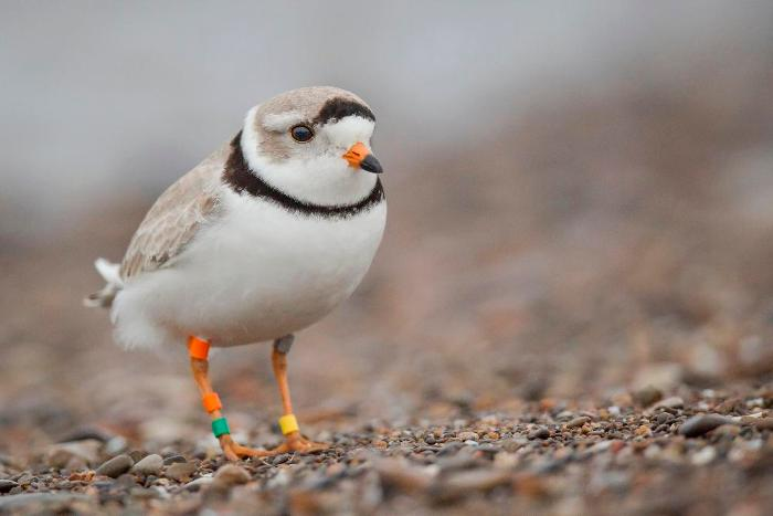 Photo of a Piping Plover